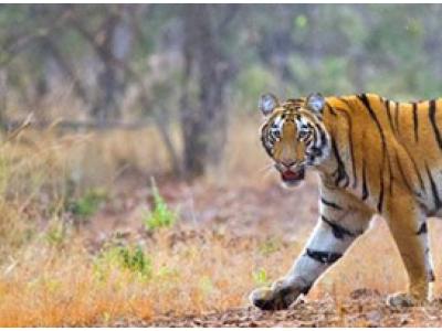 Bandhavgad Jungle Safari