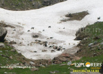 Heards of Sheep Near at Ooching Bihaii - Deo Tibba Base Camp Trek by Explorers Pune Mumbai