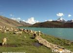 Herds of Sheep - Chandertal Lake - Hampta Pass Trek by Explorers Pune Mumbai