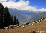 Herds of Sheep at Kurrdi camp Explorers Pune mumbai Adventure Trek Shirghan-Tungu Trek